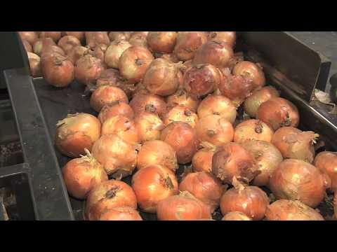 Vidalia Onion Season In Full Swing With Excellent Crop