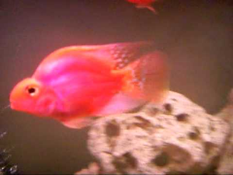 Parrot-fish.avi