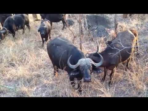 Buffalo herd surrounding Chinhoyi university students at Umfurudzi park
