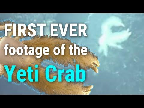 WHOI: The Yeti Crab