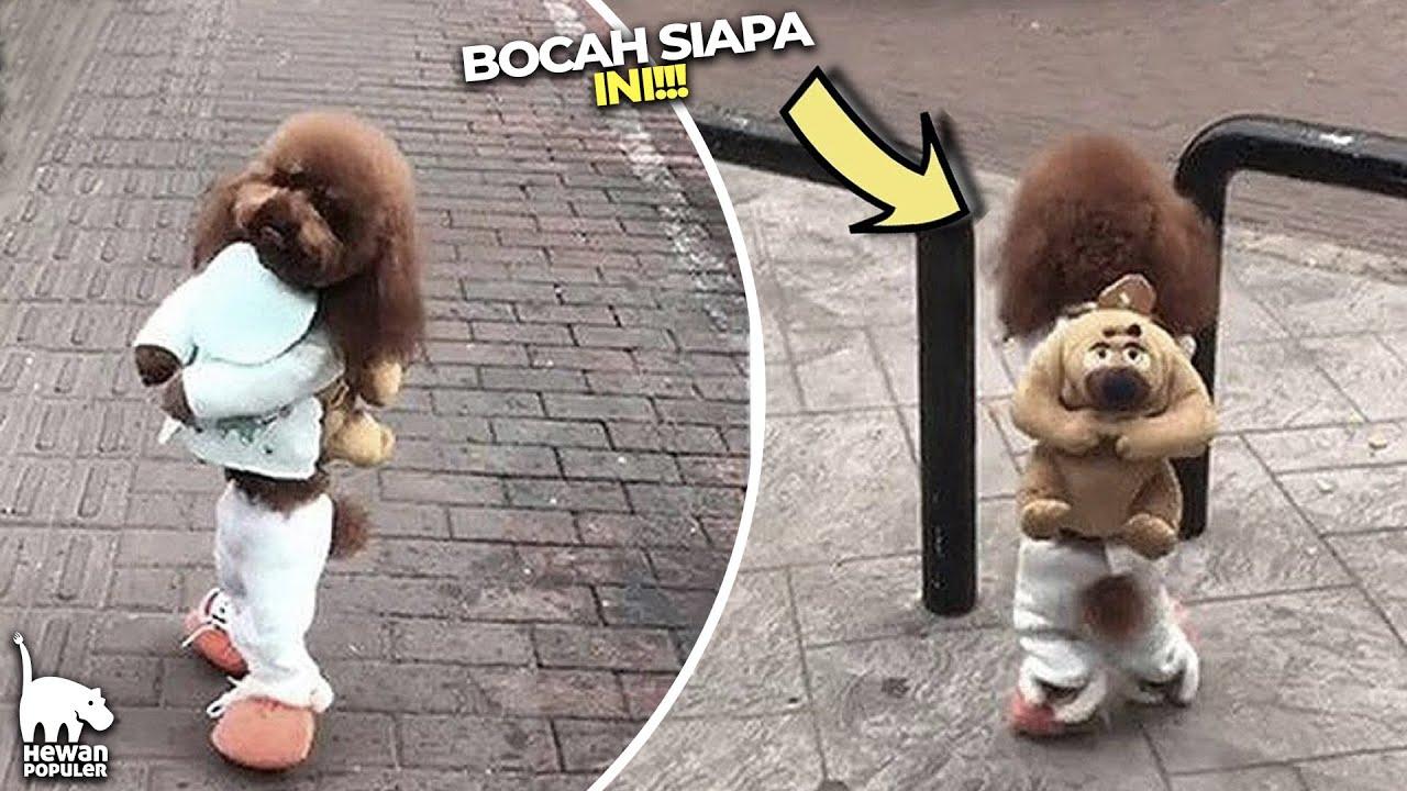 Bosan Jadi Hewan, Anjing Ini Memilih Jadi Bocah!!! Inilah 5 Hewan dengan Penampilan Unik Di Jalan