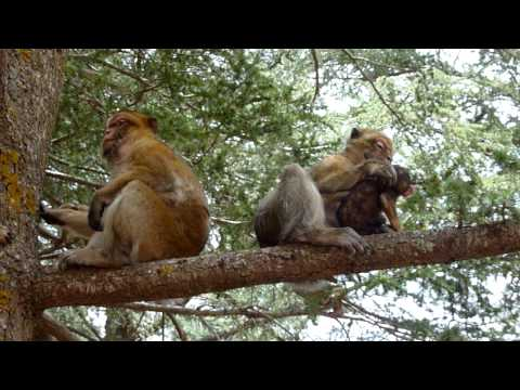 Barbary Macaques in Cedar Forest, Morocco