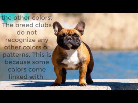 French Bulldog | Facts about Bulldog