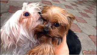 "Собаки мелких пород питомника ""Сан Смайл"". Dogs of small breeds kennel ""Sun Smile""."