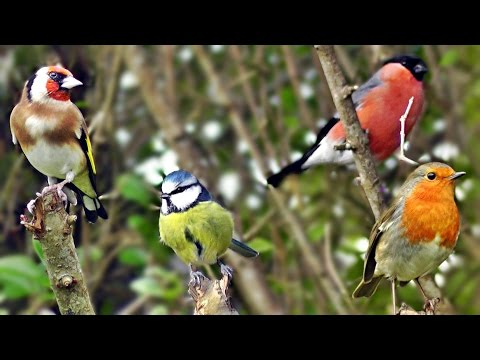 Beautiful Birds Chirping & Singing in The Hedge - Robin & More Bird Song & Sounds