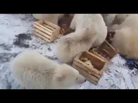 ¿Calentamiento global?: osos polares invadieron un pueblo de Rusia