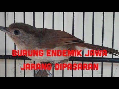 Download Lagu Suara burung flamboyan/wergan jawa/cingcoho