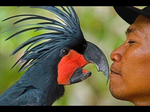 Black palm Goliath