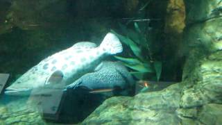 Морские окуни (шанхайский океанариум, сентябрь 2010)(, 2011-01-31T21:34:00.000Z)