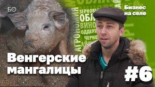 видео: Бизнес на селе #6. Венгерские мангалицы в Татарстане