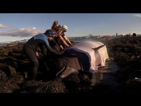 شاهد : محاولة إنقاذ حوتين على أحد شواطئ آيسلندا  - نشر قبل 2 ساعة