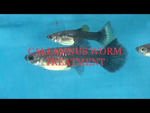 Callamnus Worm Treatment