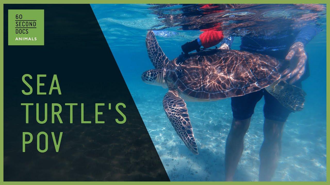 TurtleCams Capture Lives of Sea Turtles