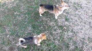 Swedish Vallhund Puppy Corgi Wrestling