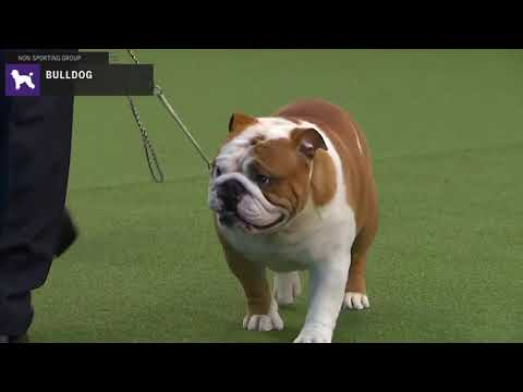 Bulldogs | Breed Judging 2020
