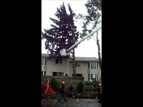 Best Tree Care. 07/28/11 ~Norway Maple & Fir removal