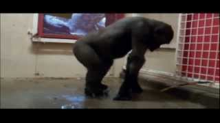 Натали - о боже какой мужчина (gorilla edition)