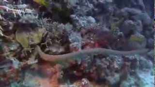 The Australian most Dangerous and venomous Snake , The olive sea snake !