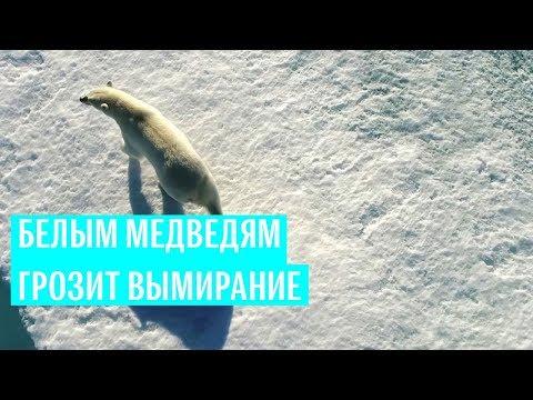 Белые медведи под угрозой исчезновения
