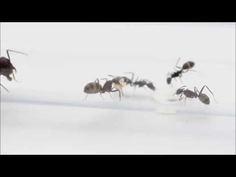 Camponotus Turkestanicus Feeding Video