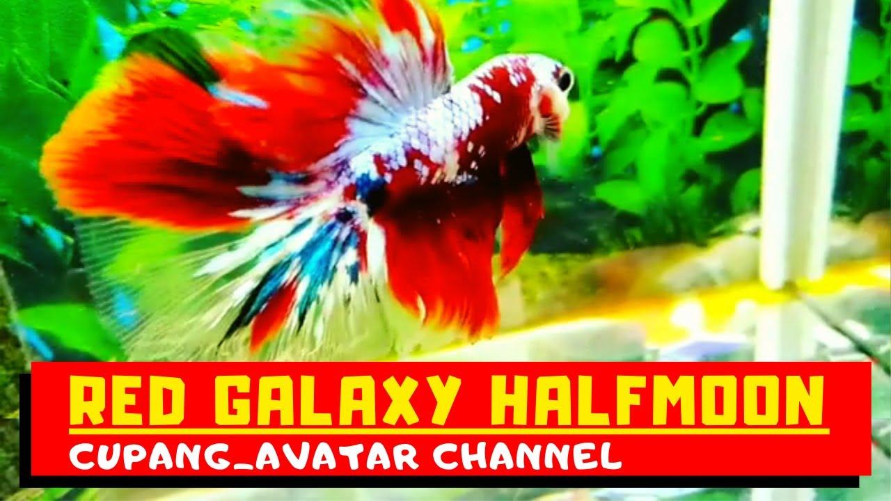 Red galaxy Halfmoon   Jenis Ikan Cupang Air Tawar   Cupang ...
