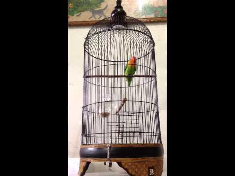 Lovebird ngekek panjang #si aventador