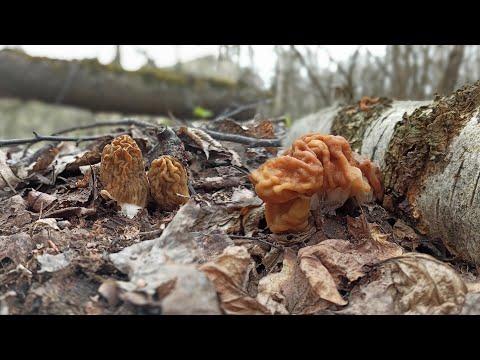 Деликатесные грибы на ваш стол / Сморчки, строчки и где их найти!