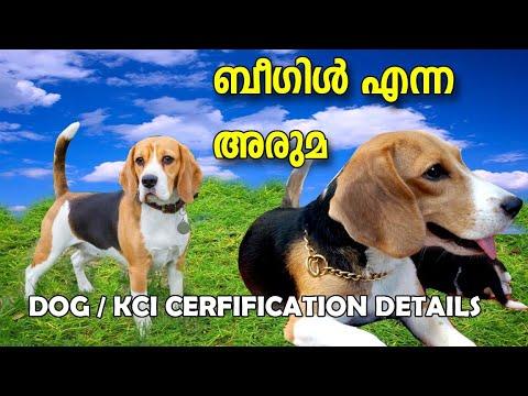 BEAGLE DOG I KCI CERTIFICATION I DOG FARMING KERALA