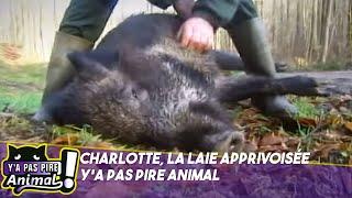 Y'a pas pire animal - Charlotte le sanglier