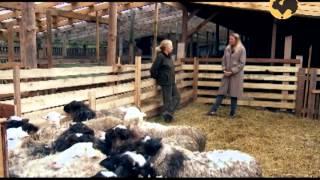 Овцеводство. Многопородное скрещивание овец. Живой дом 123.(Как улучшить мясные качества овец, следует ли содержать породы молочной направленность? Действительно..., 2014-03-24T17:14:05.000Z)