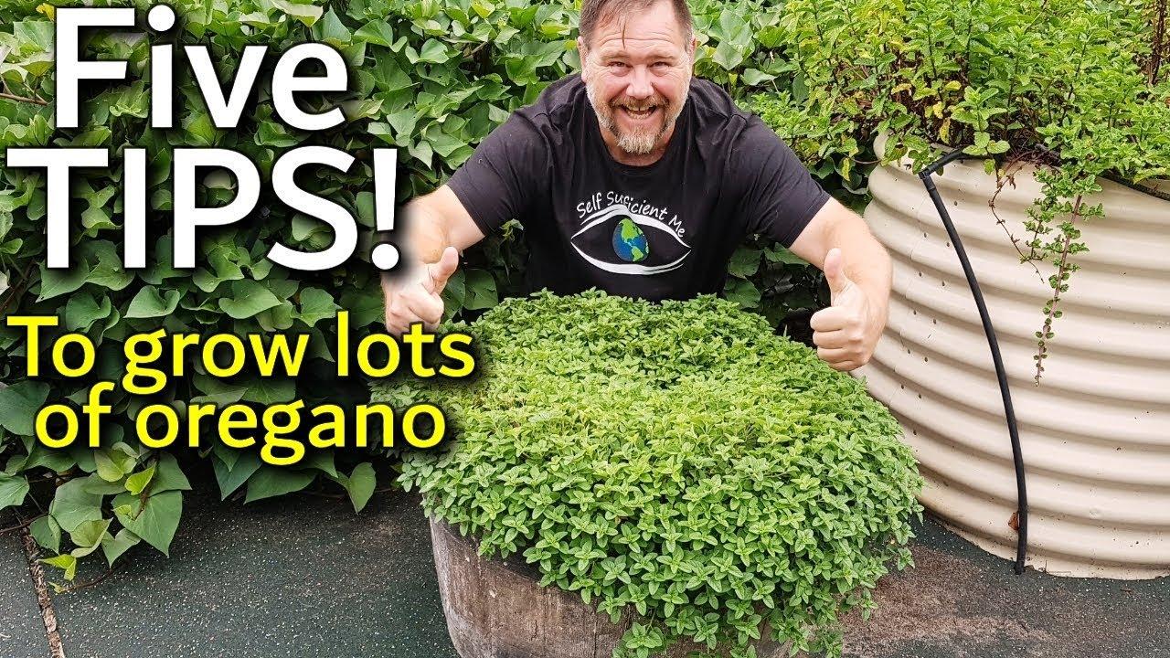 How To Germinate Oregano Seeds Fundamentals Explained