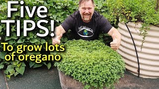 5 Tips How to Grow a Ton of Oregano in Containers