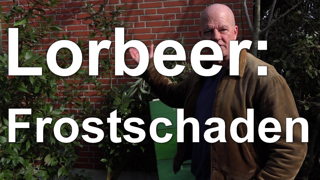 Lorbeer und Korkeiche - erste Beurteilung von Frostschäden