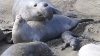 Elephant Seals: Warning, some graphic images. North of San Simeon, CA.