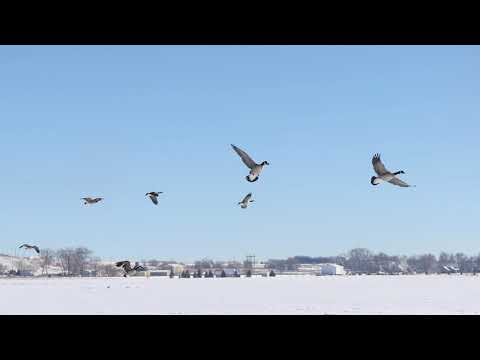 Angel Wing Outfitters+Molt Gear: Day 3 Canada Goose Hunt