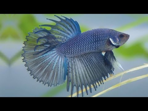 Top 10 Solid Colors Of Betta Fish | Solid Color Bettas