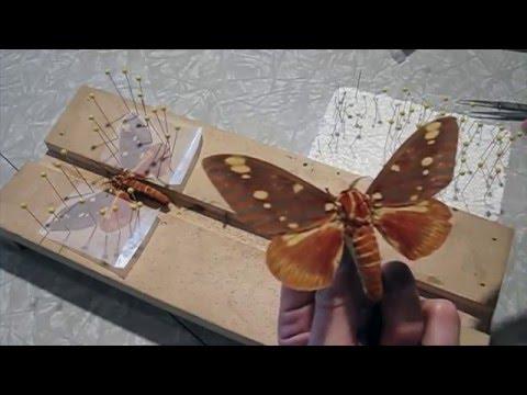 Moth de-greasing and wing repair.