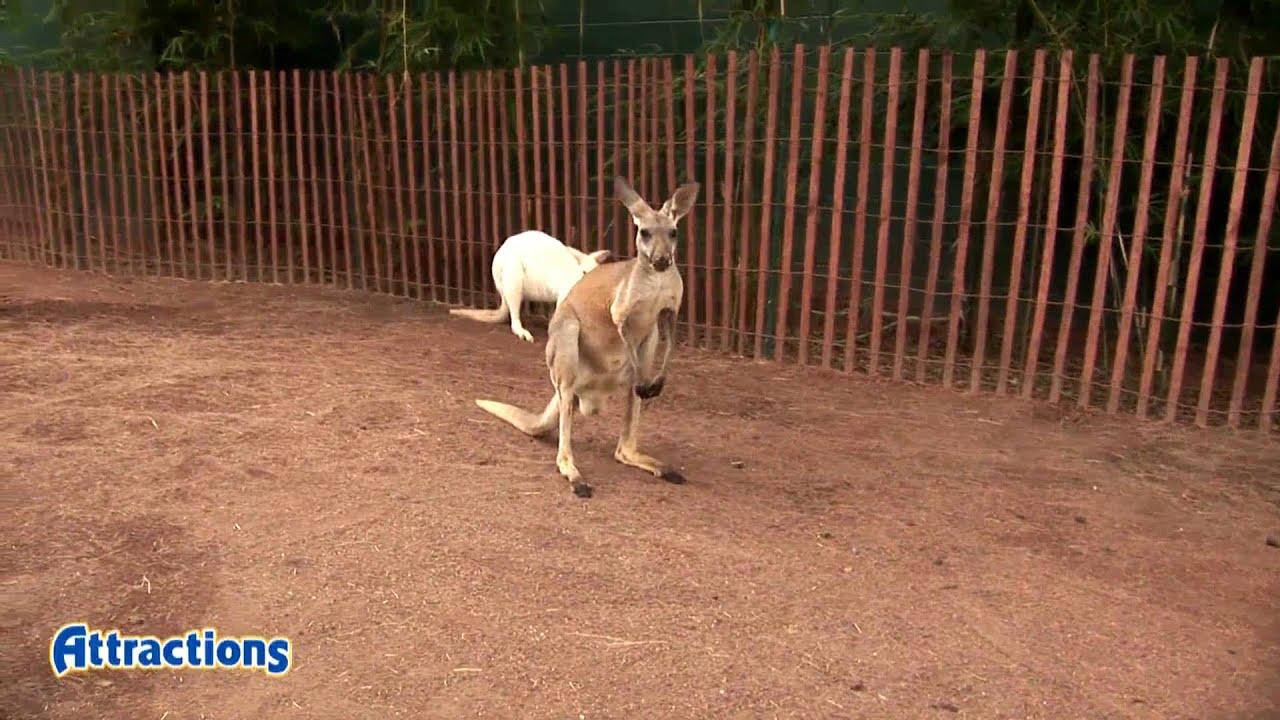 Meet kangaroos and wallabies in Walkabout Way at Busch Gardens Tampa ...