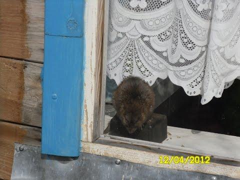 Жизнь на даче: крысы и мыши. Часть 1.