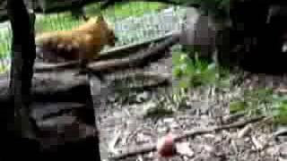 Henna Red Fox 1