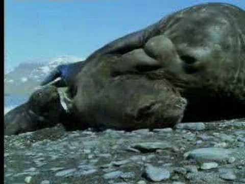 Male elephant seals defend territory - David Attenborough - BBC wildlife