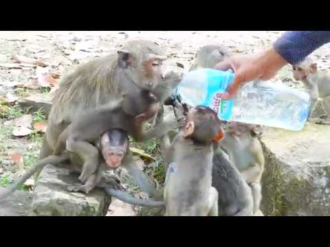 MG, All Babies Very Hungry Water! Give Water To All Adorable Babies Monkey Drink