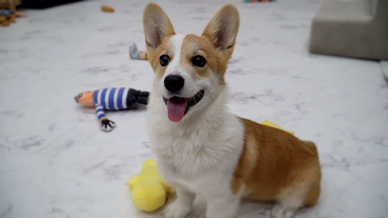 Temporarily Taking Care of a Welshi Corgi