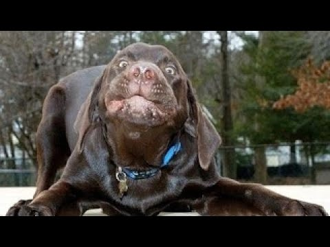LABRADORS ARE AWESOME Funny Labradors COMPILATION [Funny Pets]