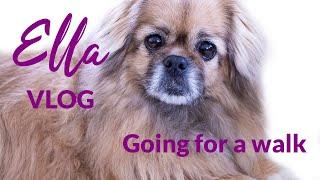 Going for a walk   Ella  The Tibetan Spaniel   Vlog, May 2020