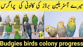 budgies parrots colony progress update 2017 in urdi/hindi