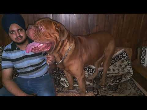 Dogue De Bordeaux || French Mastiff || Gursewak Farm || Scoobers