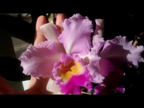Каттлеи-моя любовь😘😍😃Домашнее цветение Каттлеи Blk.Pink Diamond💞💥