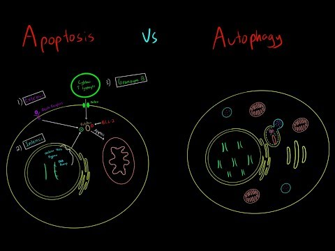 Apoptosis vs Autophagy EVERYTHING YOU NEED TO KNOW CELLULAR BIOLOGY MCAT