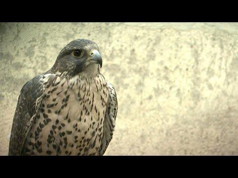 afpde: Spanische Falken erobern den Mittleren Osten   AFP